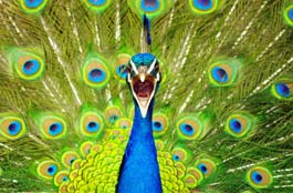 pic-peacock